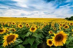 Fält av solroslinjer Royaltyfria Bilder