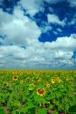 Fält av solrosor Fotografering för Bildbyråer