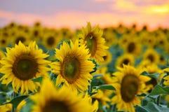Fält av solrosor arkivbild