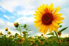 Fält av solrosor. Arkivbilder