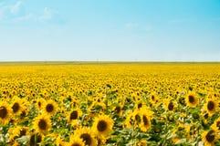 Fält av solrosor Royaltyfria Foton
