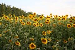 Fält av solrosor Arkivfoton