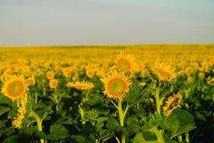 Fält av solrosor Royaltyfri Fotografi