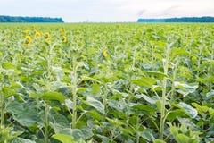 Fält av solrosor, baksidasikt Härlig sommarliggande Fotografering för Bildbyråer