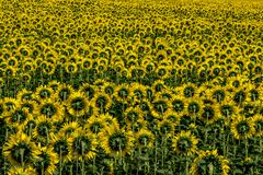 Fält av solrosor _DSC3748 arkivfoto