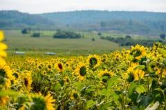Fält av solrosor i det Pak Chong området, Nakhon Ratchasima landskap, nordöstra Thailand Arkivfoton