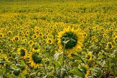 Fält av solrosor i det Pak Chong området, Nakhon Ratchasima landskap, nordöstra Thailand Arkivbild