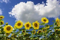 Fält av solrosor i sommar Arkivfoton
