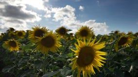 Fält av solrosor i sommar stock video