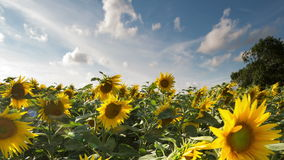Fält av solrosor i sommar arkivfilmer