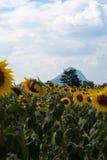 Fält av solrosor med blå himmel Ett solrosfält på solnedgång, w royaltyfri fotografi