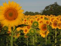 Fält av solrosor med closeupen av en solros Royaltyfri Bild
