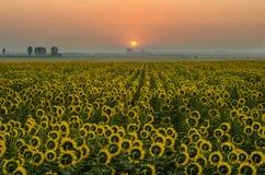 Fält av solrosor med soluppgång Royaltyfria Foton