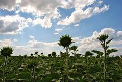 Fält av solrosor med unblown blommor, molnig himmel Arkivfoton