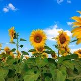 Fält av solrosor och blå himmel på detYao landskapet Thailand Fotografering för Bildbyråer