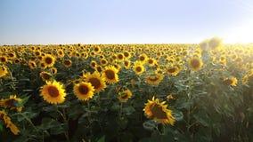 Fält av solrosor och solen. Panorama lager videofilmer