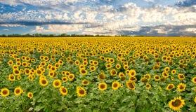 Fält av solrosor och solnedgångskyen Royaltyfri Fotografi