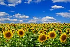 Fält av solrosor, på bakgrunden av blå himmel Royaltyfri Bild