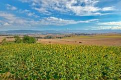 Fält av solrosor på caminoen de santiago, Navarra arkivfoto