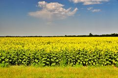 Fält av solrosor på en bakgrund av blå himmel Arkivbild