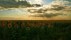 Fält av solrosor på en solnedgång Royaltyfria Bilder
