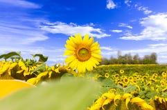 Fält av solrosor som blommar, och himmelbakgrundsblått med vita moln Royaltyfria Foton