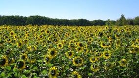 Fält av solrosor under den blåa himlen lager videofilmer