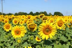 Fält av solrosor under klar blå himmel och den ljusa solen Kirovograd region, Ukraina Royaltyfri Bild