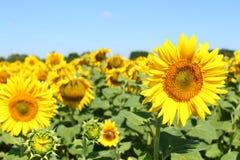 Fält av solrosor under klar blå himmel och den ljusa solen Kirovograd region, Ukraina Fotografering för Bildbyråer