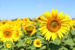 Fält av solrosor under klar blå himmel och den ljusa solen Kirovograd region, Ukraina Royaltyfri Fotografi