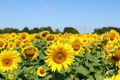 Fält av solrosor under klar blå himmel och den ljusa solen Kirovograd region, Ukraina Arkivbild