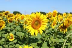Fält av solrosor under klar blå himmel och den ljusa solen Kirovograd region, Ukraina Royaltyfria Bilder