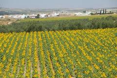 Fält av stora solrosor i sydliga Spanien, på huvudvägen A49 till Palos de la Frontera i den CarteDu Boyageur de laen Landskap de  Royaltyfri Bild