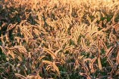 Fält av tillbaka tänt perent gräs för rävsvans som glöder från solljus royaltyfri foto