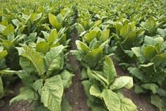 Fält av tobakväxter i lantgårdfältet, avsalugröda Arkivbilder