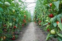 Fält av tomater Arkivfoto