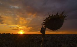 Fält av torkade solrosor på solnedgången. Arkivbild