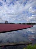 Fält av tranbär Arkivbilder