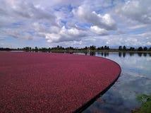 Fält av tranbär Arkivbild
