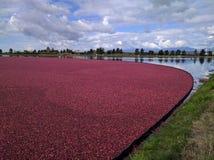 Fält av tranbär Royaltyfri Bild