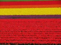 Fält av tulpan Royaltyfri Bild