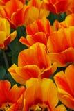 Fält av tulpan, gulliga tulpan, färgrika tulpan, kronblad som förbluffar tulpan, tulpan härliga buketttulpan färgrika tulpan tulp Royaltyfria Foton