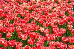 Fält av tulpan i Keukenhof parkerar i Nederländerna Royaltyfri Fotografi