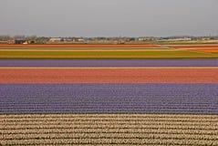 Fält av tulpan utöver en stad med små hus Royaltyfria Foton