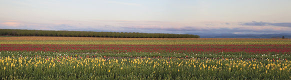 Fält av tulpanpanorama Royaltyfri Bild