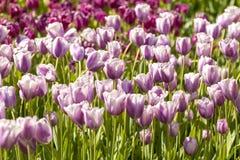 Fält av typiska holländska purpurfärgade tulpan Royaltyfri Bild