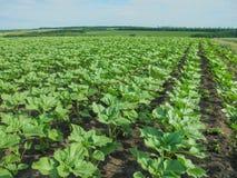 Fält av unga gröna solrosor som planteras i även rader arkivbilder