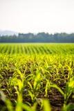 Fält av unga majsväxter Arkivfoto