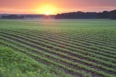 Fält av unga soybeanväxter på soluppgången Royaltyfria Bilder