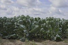 Fält av unga växter för Bryssel grodd Arkivfoto